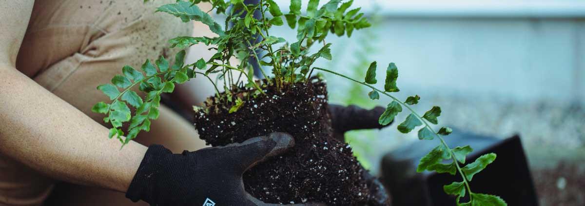 main qui plante une plante
